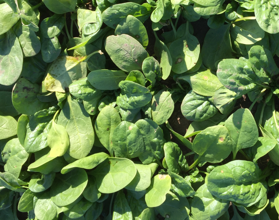 The Rijk Zwaan spinach assortment makes an impression in Washington State University's Stemphylium study